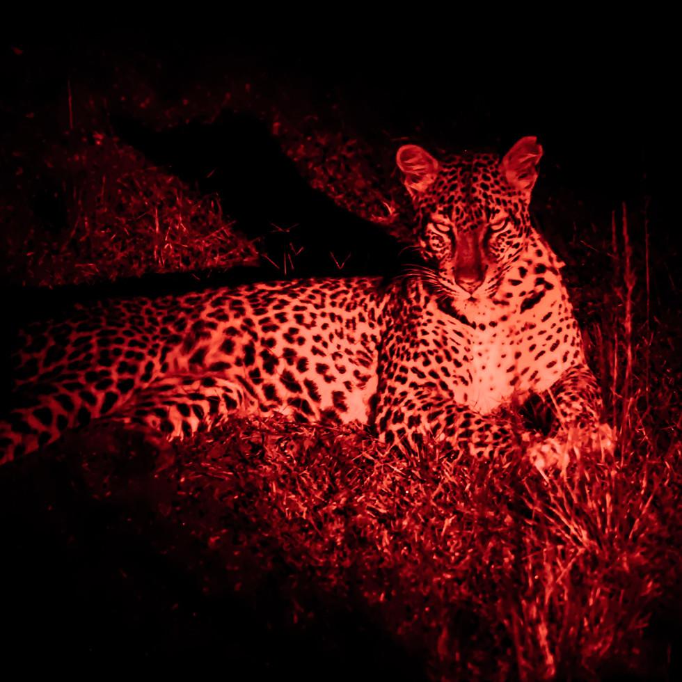 Leopardess after a hunt. Magashi Peninsula, Akagera National Park, Rwanda