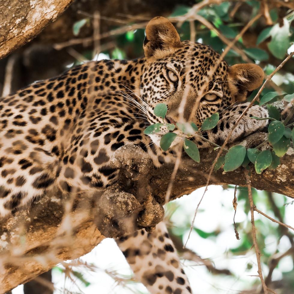 sleeping leopardess in Queen Elizabeth National Park.jpg
