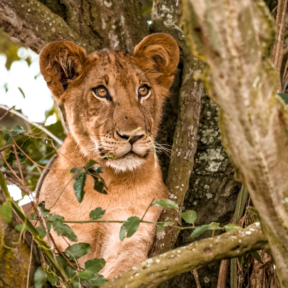 Young lion perched in the trees in Queen Elizabeth National Park