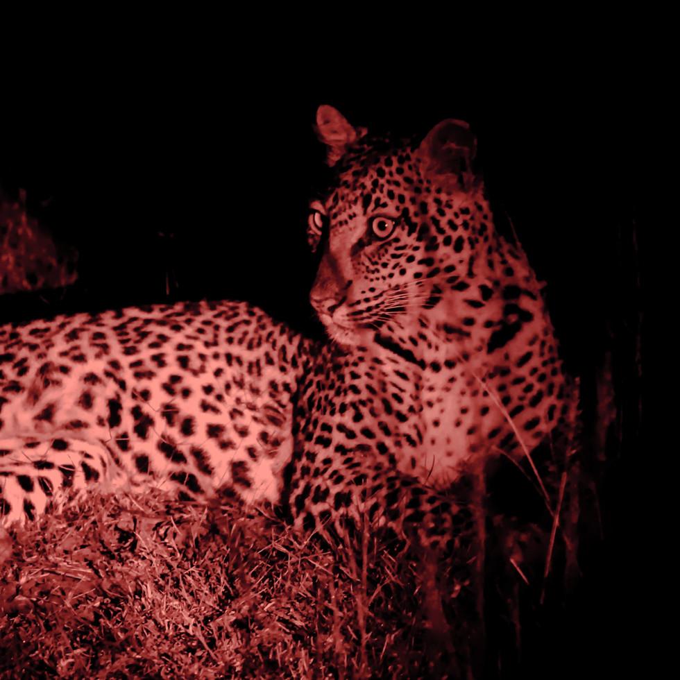 Leopardess at night, Magashi Peninsula, Akagera National Park Rwanda