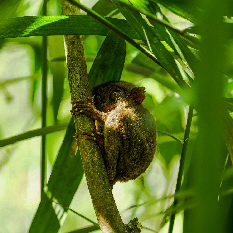 A tiny tarsier on Bohol Island, Philippines