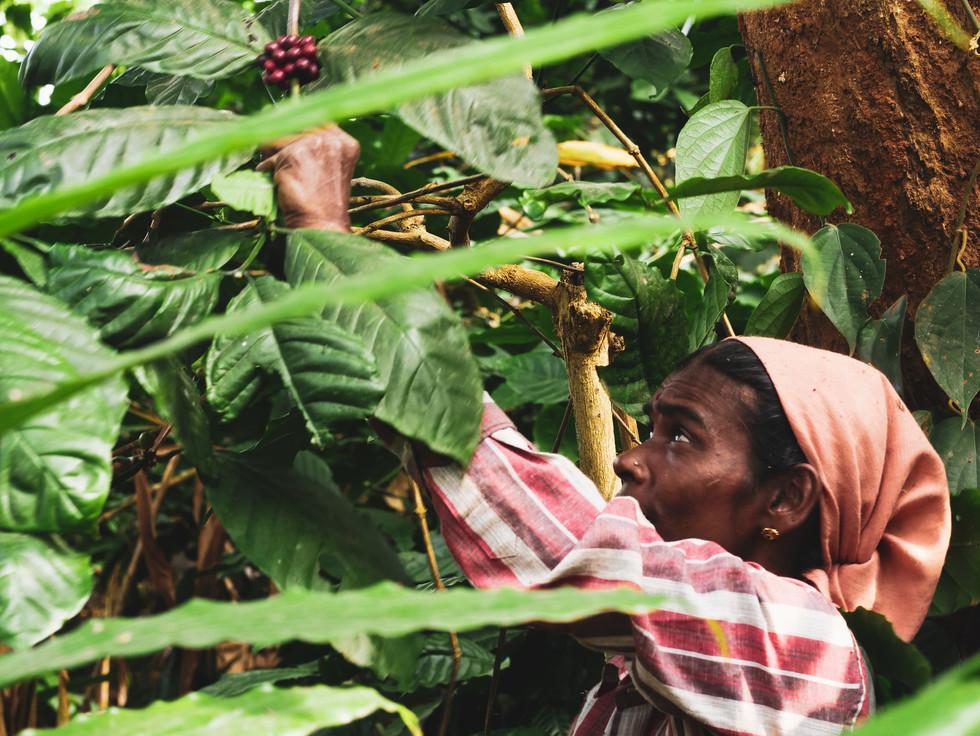 Coffee picker during harvest in Coorg, Karnataka, India