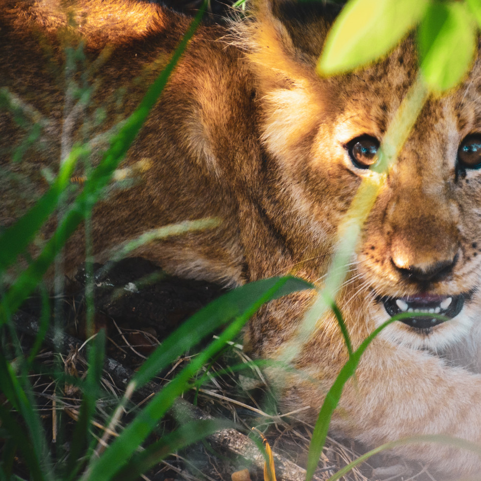 Lion cub in Makalali Reserve, South Africa