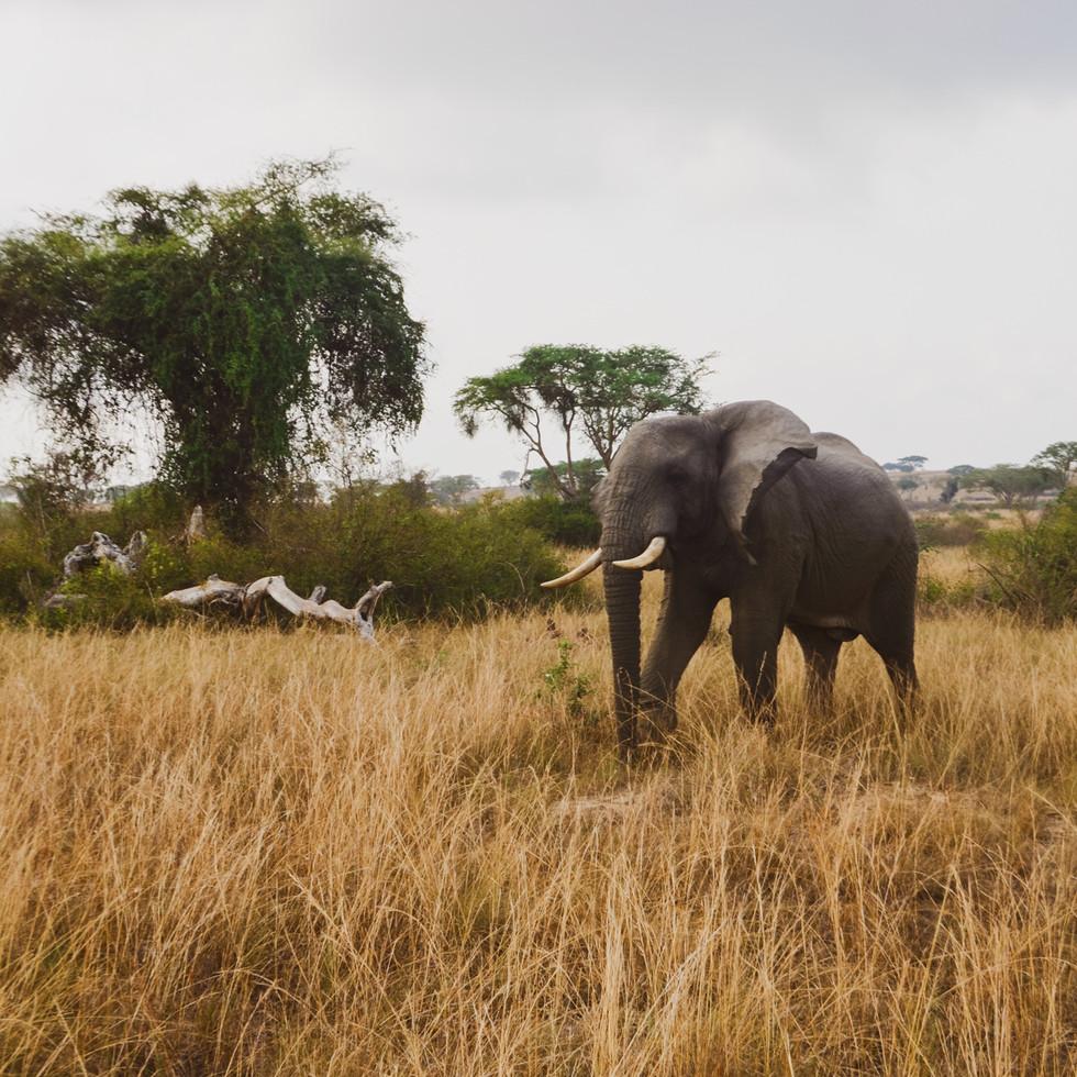 Elephants grazing in the savannah in Queen Elizabeth National Park, Uganda