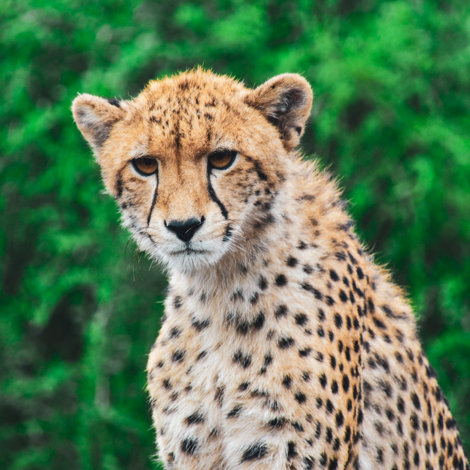 Portrait of a cheetah in Manyoni Reserve, South Africa