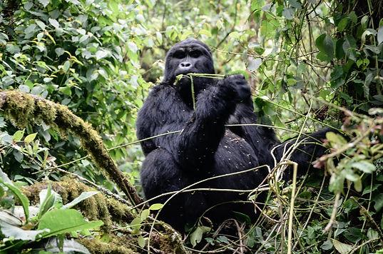 Gorilla eating breakfast in Bwindi Impen