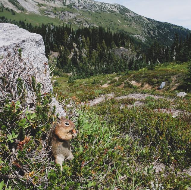 Squirrel eating amidst valley in Mt. Rainier National Park, Washington, USA
