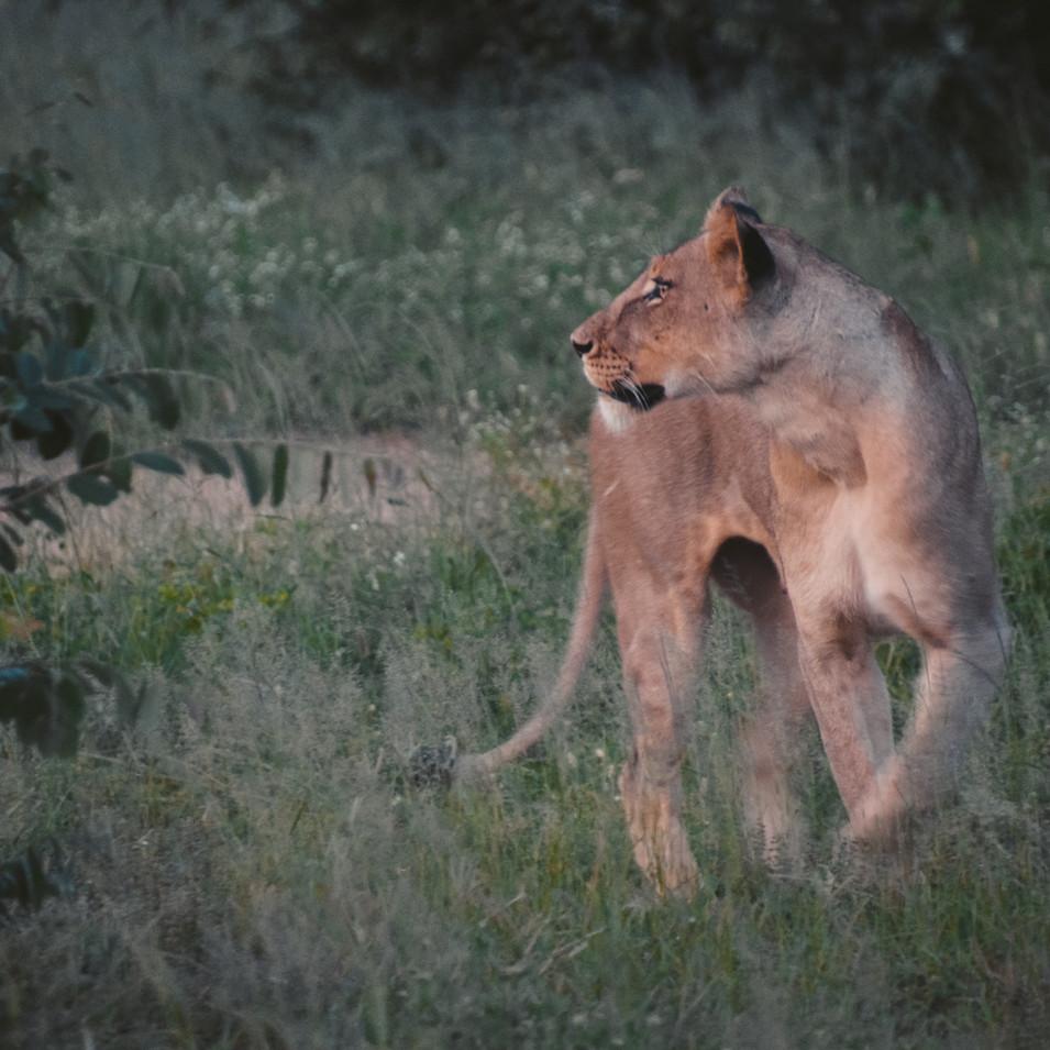 Lioness at dusk, Makalali Reserve, South Africa