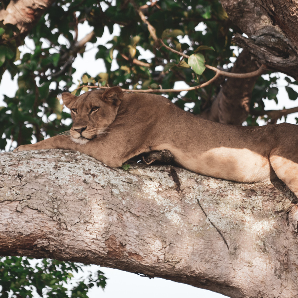 Lioness lounging in a tree in Queen Elizabeth National Park, Uganda