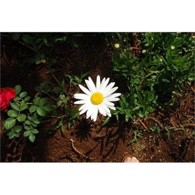 Floral Margarida de Saint Germain - cura misericordiosa
