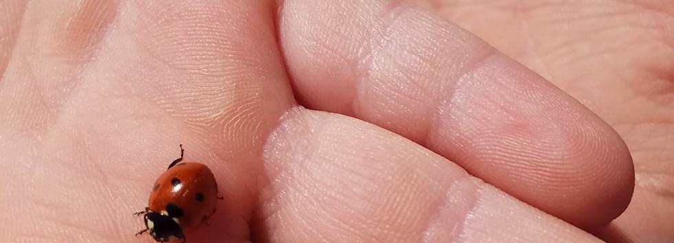 ladybug.JPG.jpg