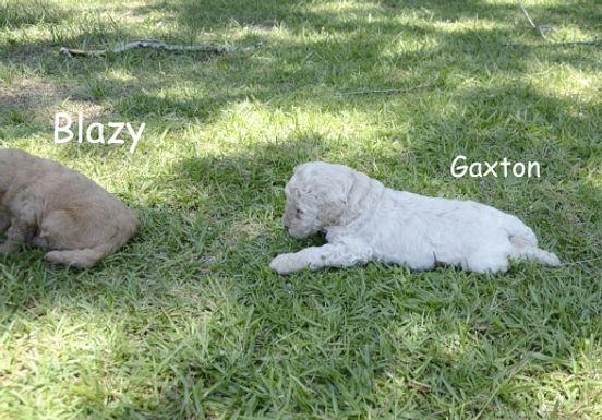 Gaxton