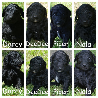 Piper, DeeDee and Darcy will be Blue