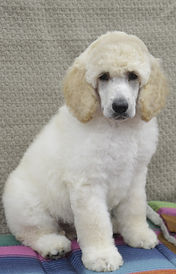 Apricot Standard Poodle Puppies