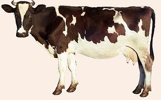 vache rose2_modifié.jpg