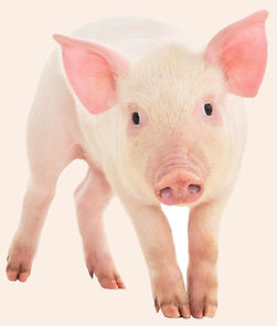 cochon rose.jpg