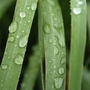 Pure-Lemongrass-Essential-Oil__38946.142