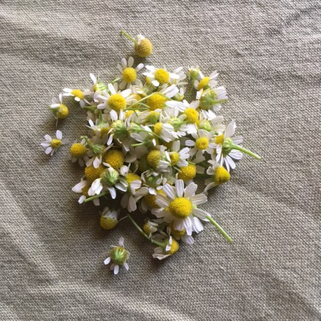 Todays' Harvest: CHAMOMILE