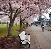 portland cherry trees - spring 2018-10.j