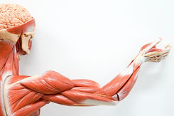 Human hands muscle for the education..jp