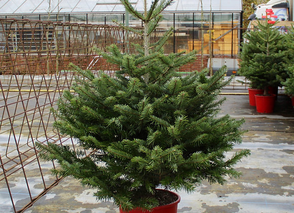 4 ft. Pot Grown Nordman Fir Christmas Tree