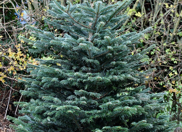5 ft. Cut Nordman Fir Christmas Tree