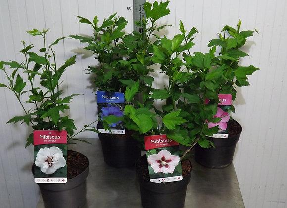 Hibiscus in Cultivars C3
