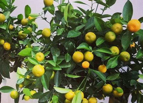 Citrus Calamondino C3