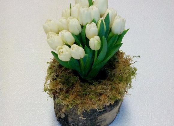 White Tulip Display In Log