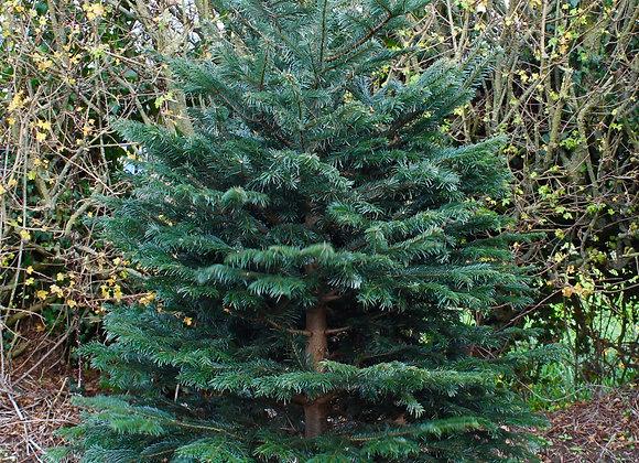 8 ft. Cut Nordman Fir Christmas Tree