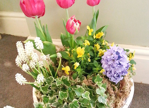 Outdoor Tulip Spring Plant