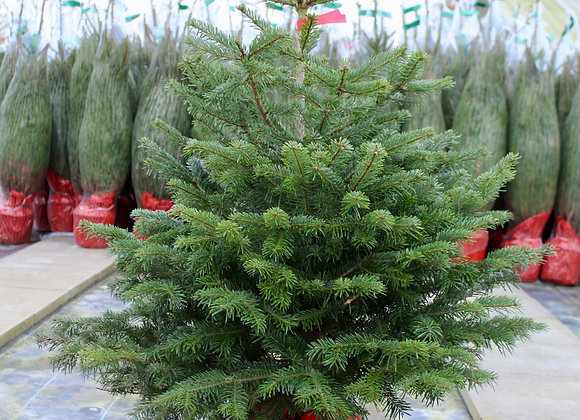 3 ft. Pot Grown Nordman Fir Christmas Tree