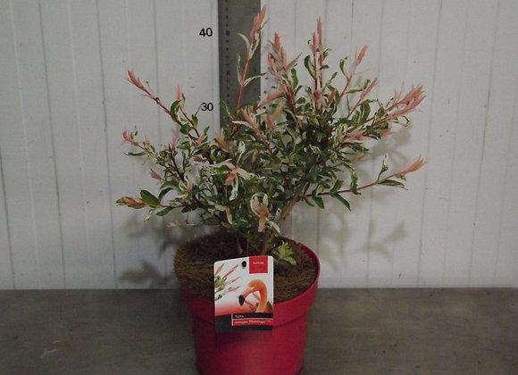 Salix - integra 'Flamingo'