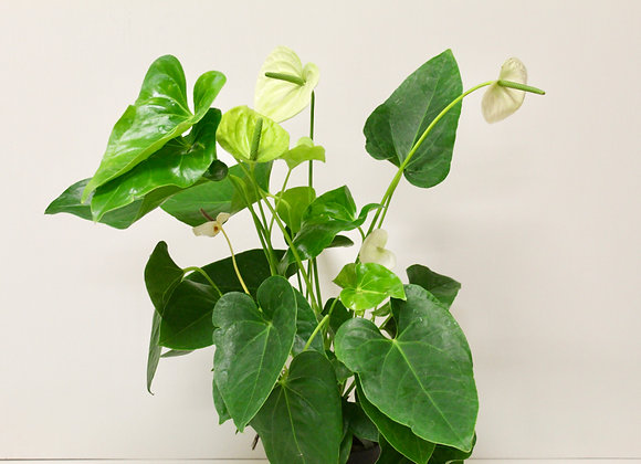 Lime Anthurium