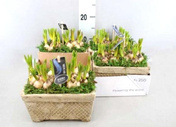 Muscari Planter
