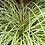Thumbnail: Carex Evergold C2 Colourline