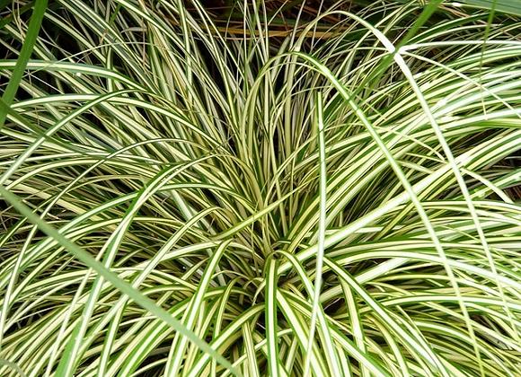Carex Evergold C2 Colourline
