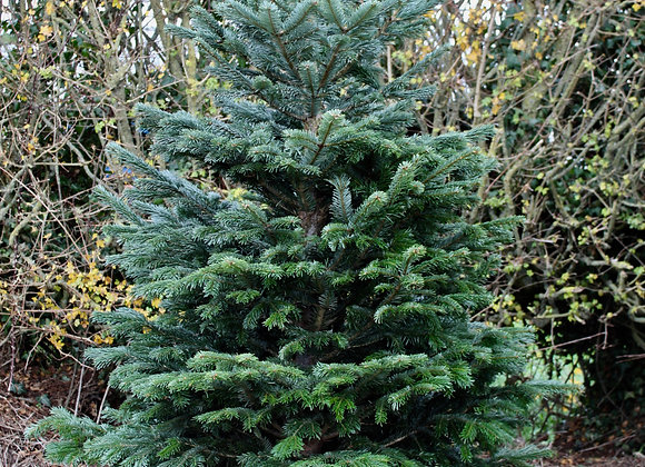 6 ft. Cut Nordman Fir Christmas Tree