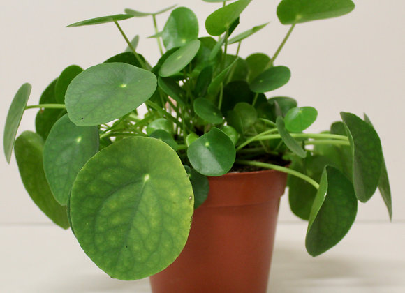 Pilea (Chinese Money Plant)