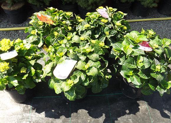 Hydrangea Macrophylla Mophead C5