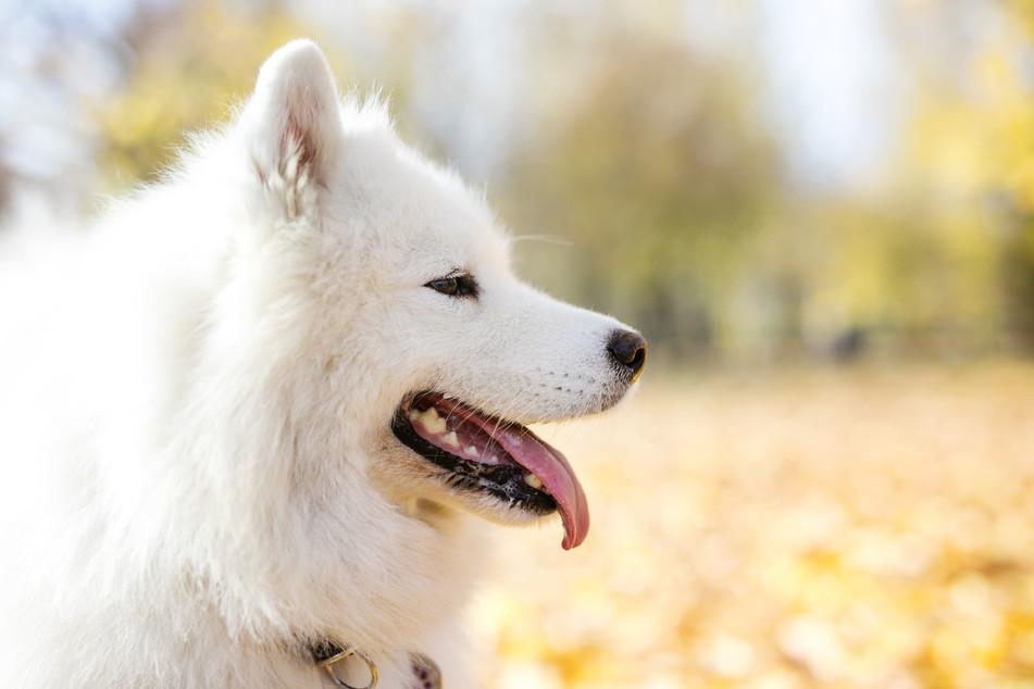samoyed-dog-in-autumn-park-LTKR73Z-min.j
