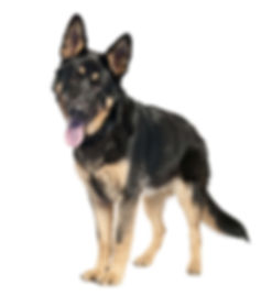 german-shepherd-7-months-old-PNJ4YSV-min