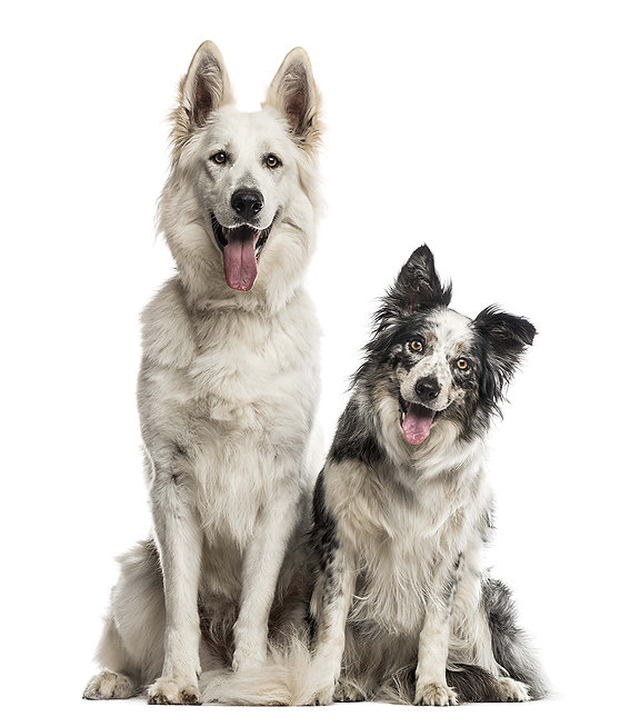 swiss-shepherd-dog-and-border-collie-in-