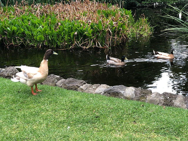 Duck 3.jpg