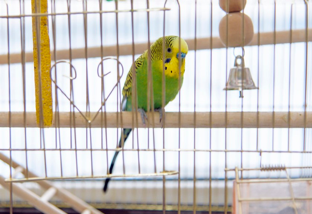 Budgerigar in the its cage. Budgie