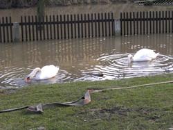 Hochwasser 2006 - Die Schäne besuchen die Wiese der Elbaussicht
