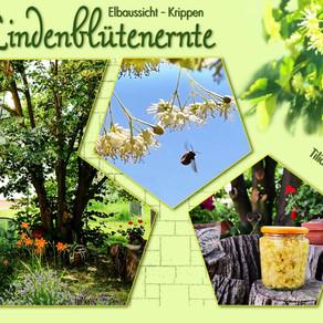 Lindenblütenernte