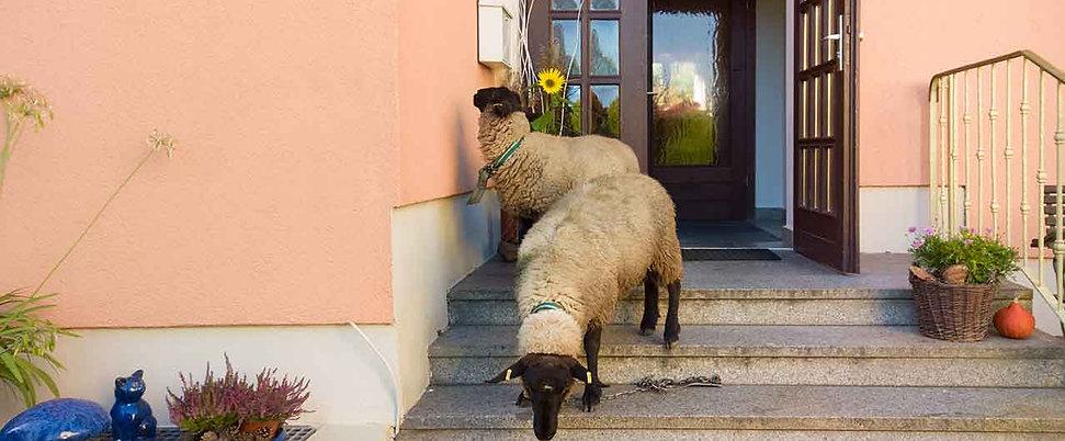 Schafe am Briefkasten der Elbaussicht