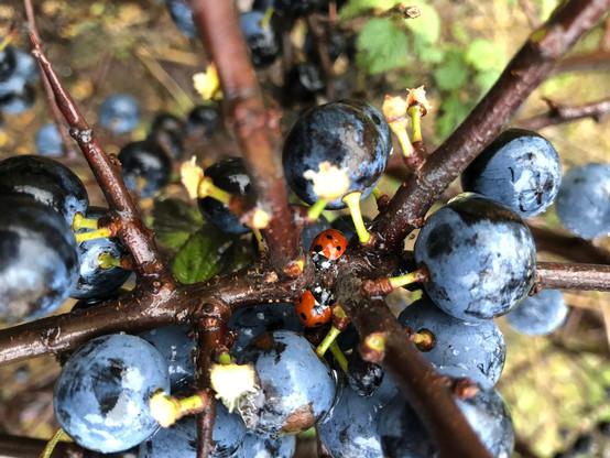 Sloe Berries and Ladybirds