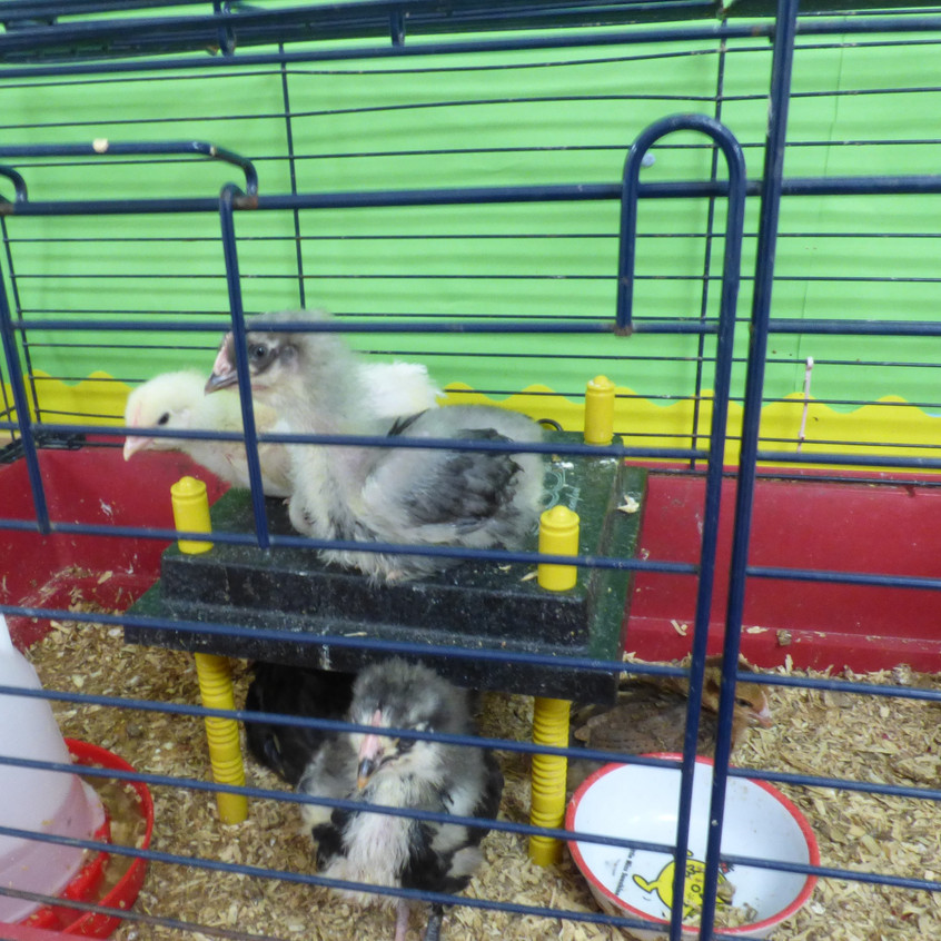 Rosedene Hemlington Initiative Centre Chickens (3)
